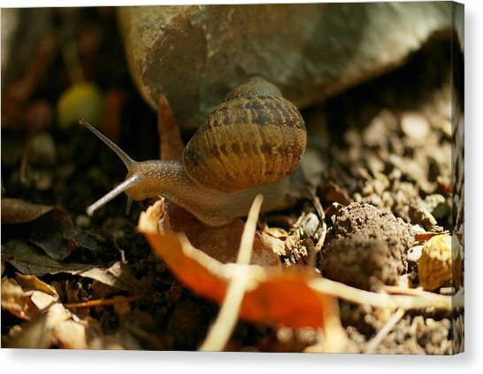 Little Things Canvas Print - An Awesomely Slow Snail by Jeff Swan