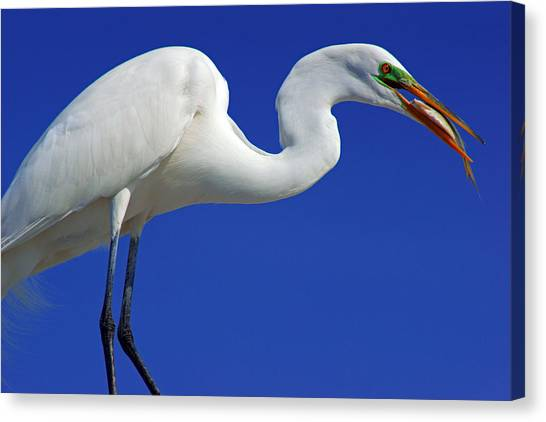An Egret's Lunch Canvas Print