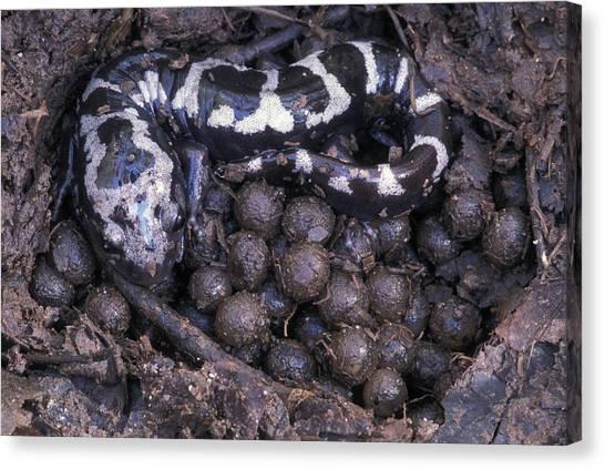 Salamanders Canvas Print - An Endangered Marbled Salamander Nests by Peter Essick