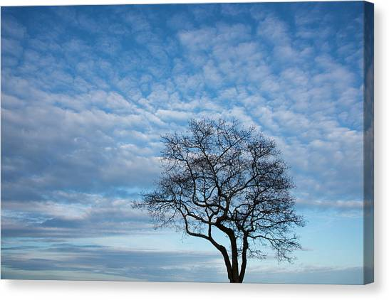 Canvas Print - An Oak Tree On Masons Island by Michael Melford