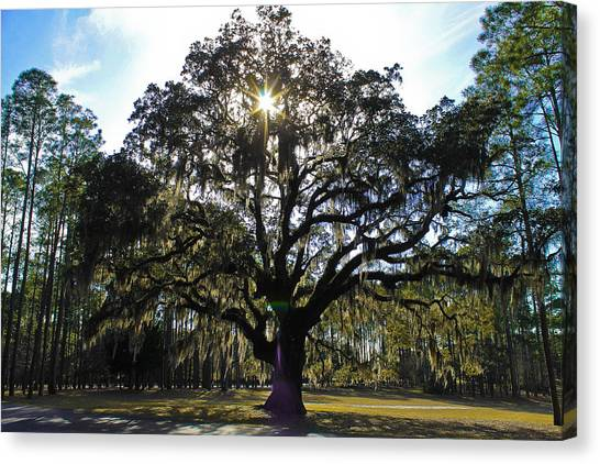 An Old Oak Tree Canvas Print