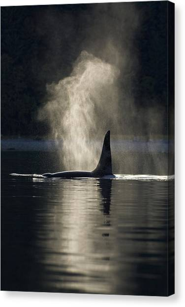 Tongass National Forest Canvas Print - An Orca Whale Exhales Blows by John Hyde