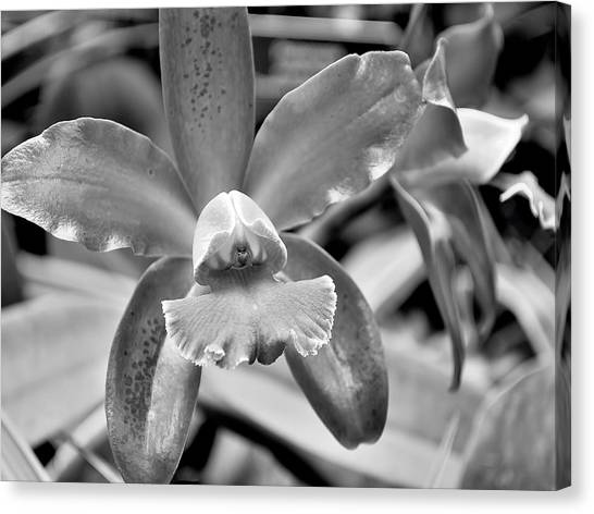 An Orchid. Canvas Print