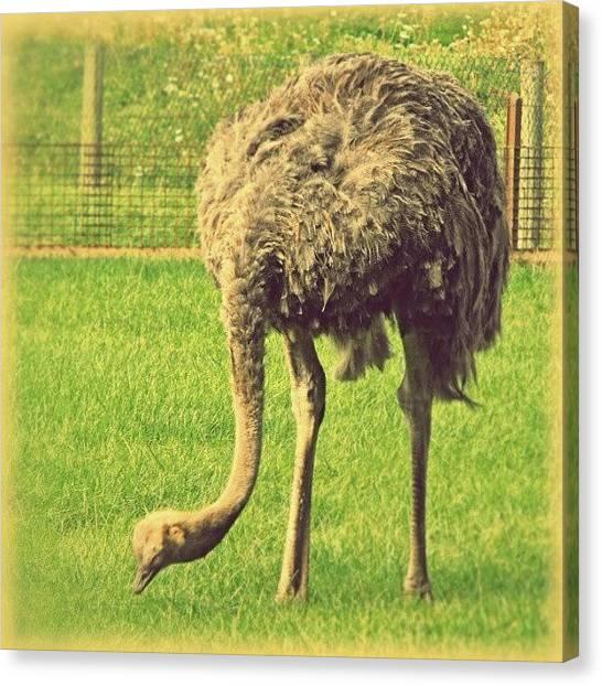 Ostriches Canvas Print - An #ostrich... #latergram #all_shots by Alexandra Cook