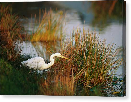 Great Cypress Canvas Print - An Unusual White-tinged Great Blue by Raymond Gehman