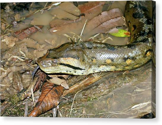 Amazon Rainforest Canvas Print - Anaconda by Dr Morley Read/science Photo Library