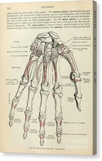 Anatomy Human Body Old Anatomical 77 Canvas Print