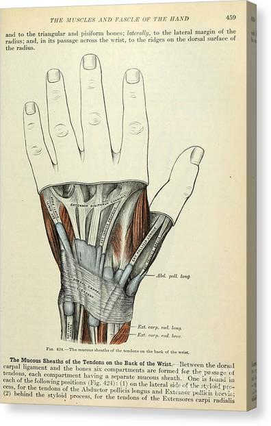 Anatomy Human Body Old Anatomical 84 Canvas Print