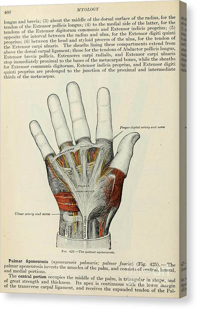 Anatomy Human Body Old Anatomical 85 Canvas Print