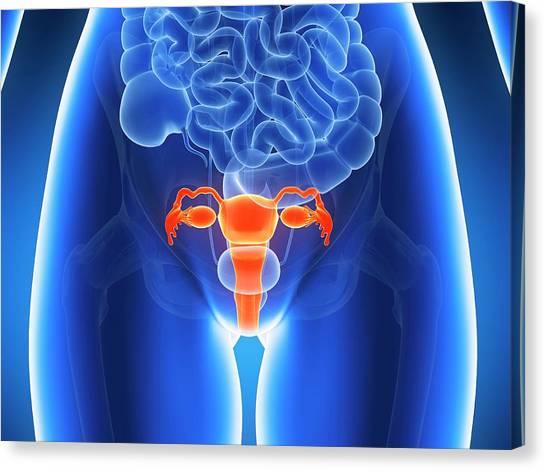 Internal Organs Canvas Print - Anatomy Of Human Uterus by Sebastian Kaulitzki
