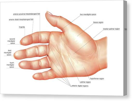 anatomy regions of the hand canvas print by asklepios medical atlas