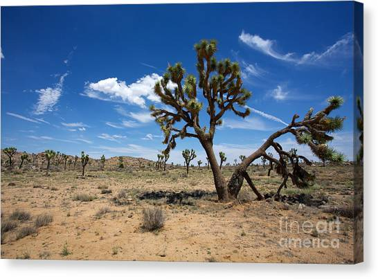 Ancient Joshua Tree Canvas Print