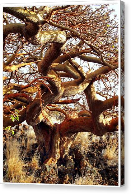 Ancient Wiliwili Tree Canvas Print by Stephen Green