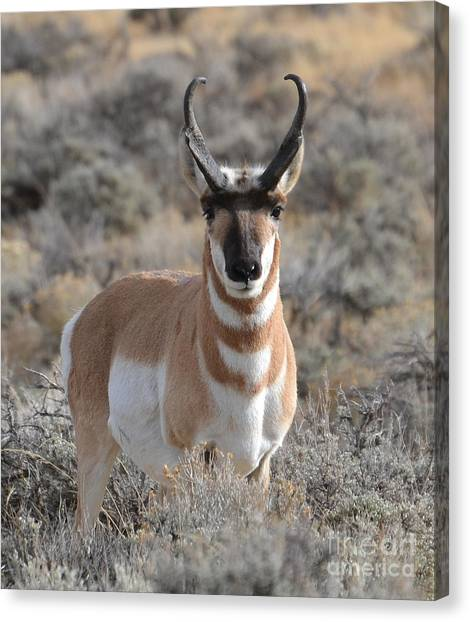 ...and The Antelope Play Canvas Print