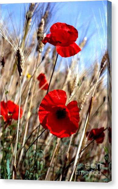 And Then They Mowed A Tuscan Field Canvas Print