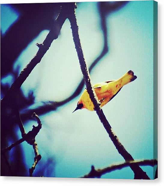 Orioles Canvas Print - And They Were All Yellow by Suzanne Clark