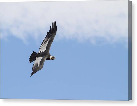 Condors Canvas Print - Andean Condor by Tim Grams