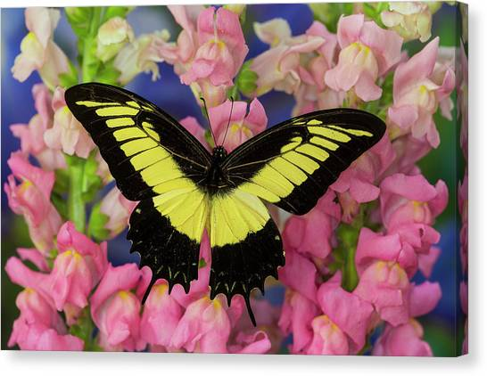 Snapdragons Canvas Print - Androgeus Swallowtail, Queen Page Or by Darrell Gulin