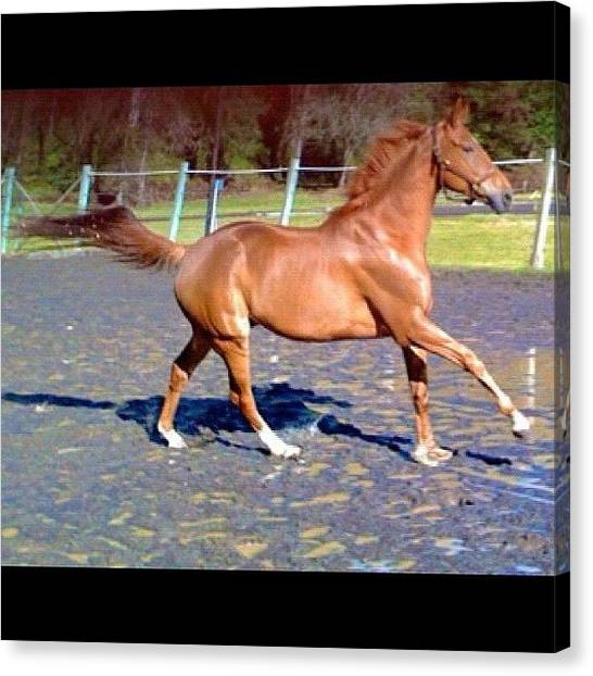 Thoroughbreds Canvas Print - Andy Kicking It Up In The Puddles by Anna Porter