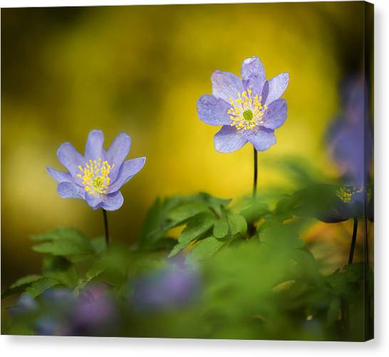 Anemone Beauty Canvas Print