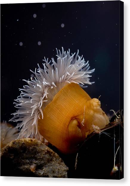 Anemone Canvas Print by Brian Magnier