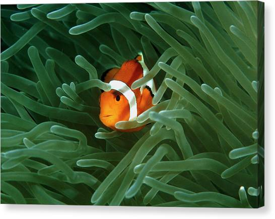 Anemonefish Canvas Print - Anemone Fish by Matthew Oldfield/science Photo Library