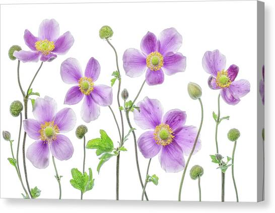 Japanese Gardens Canvas Print - Anemone Japonica by Mandy Disher