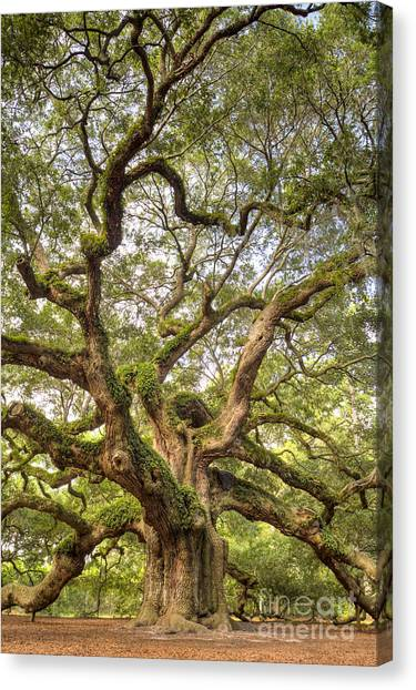 Angel Oak Tree Johns Island Sc Canvas Print