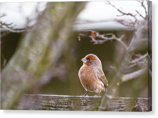 Finches Canvas Print - Angry Bird by Rebecca Cozart