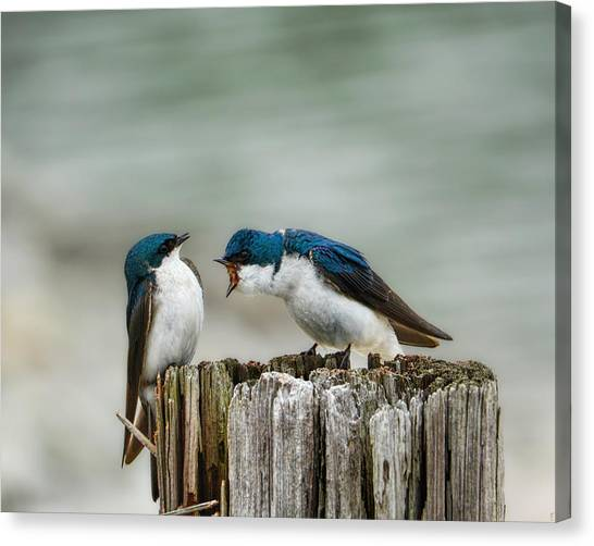 Angry Swallow Canvas Print