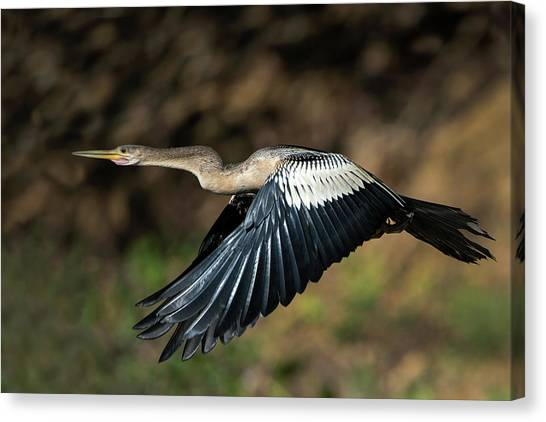 Anhinga Canvas Print - Anhinga Anhinga Anhinga Flying by Animal Images