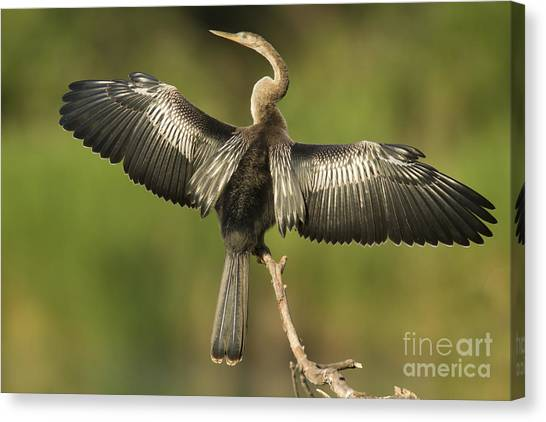 Anhinga Posing Canvas Print by Kelly Morvant