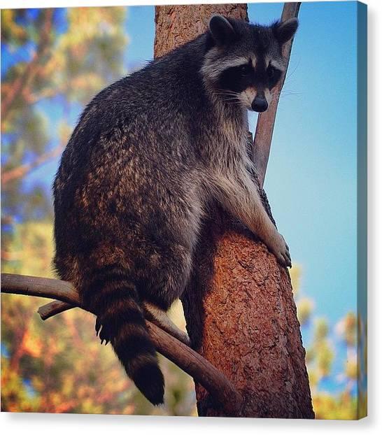 Raccoons Canvas Print - #animal #animallover #animalkingdom by Kerri Ann Crau