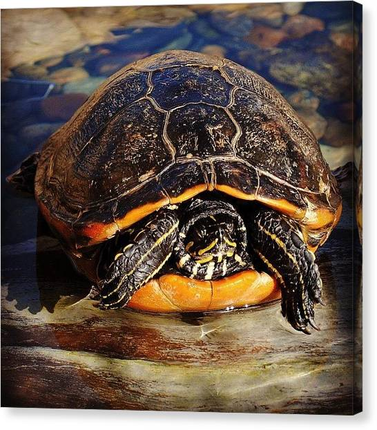 Tortoises Canvas Print - #animal #animals #animalkingdom by Kerri Ann Crau