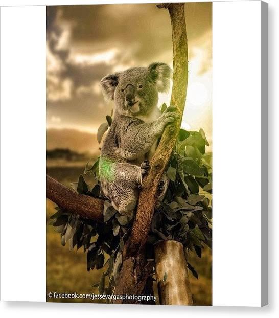 Koala Canvas Print - #animal #animals #wildlife #nature #zoo by Jesse Vargas