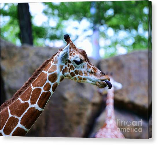 Giraffes Canvas Print - Animal - Giraffe - Sticking Out The Tounge by Paul Ward