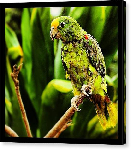 Tropical Birds Canvas Print - #animals #birds #color #parrot #panama by Ben Verlinden