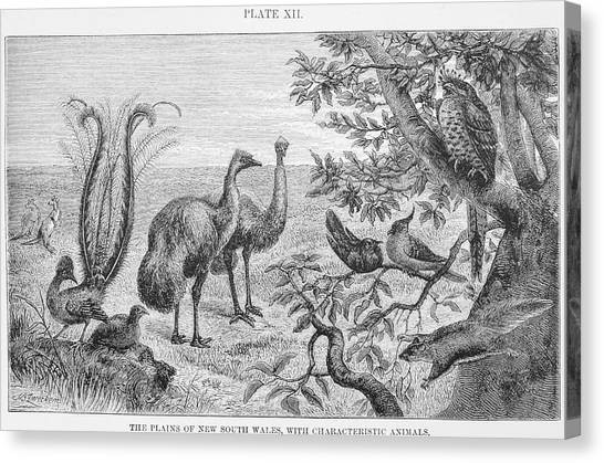 Emus Canvas Print - Animals Of The Plains Of New South Wales by Natural History Museum, London/science Photo Library
