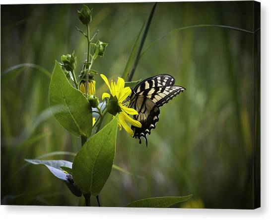 Anise Swallowtail 001 Canvas Print