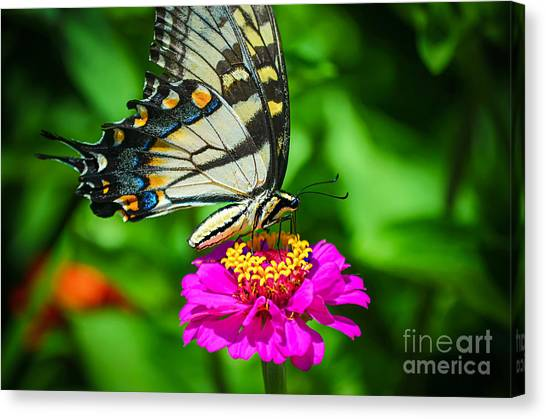 Anise  Swallowtail Butterfly Canvas Print