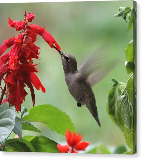 Annas Hummingbird Canvas Print - Anna Hummingbird In Salvia by Angie Vogel