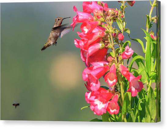Annas Hummingbird Canvas Print - Anna's Hummingbird And A Bee by Tom Norring