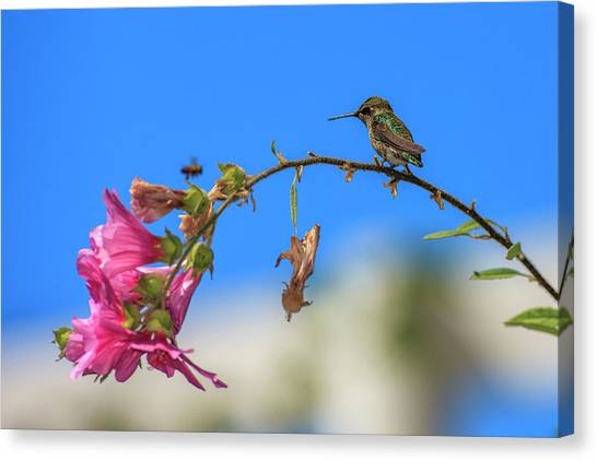 Annas Hummingbird Canvas Print - Anna's Hummingbird Studying A Bee by Tom Norring