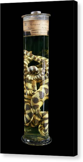 Coral Snakes Canvas Print - Annulated Sea Snake by Natural History Museum, London