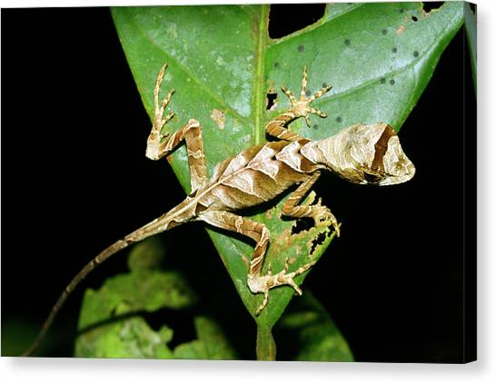 Anolis Lizard Canvas Print by Dr Morley Read/science Photo Library