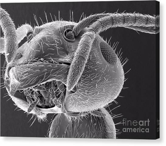 Ant Close Up Canvas Print