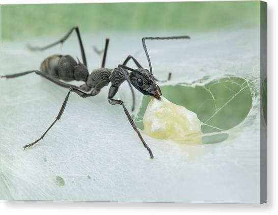 Ants Canvas Print - Ant (diacamma Sp.) Raiding Spider Nest by Melvyn Yeo
