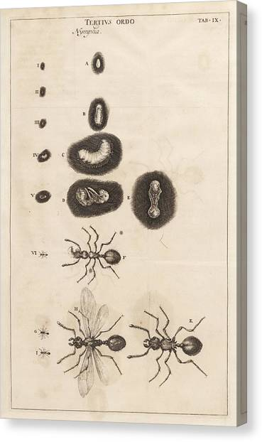 Ants Canvas Print - Ant Life Cycle by King's College London
