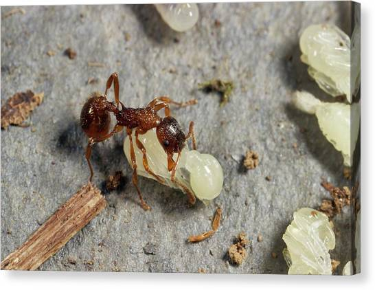Ants Canvas Print - Ant Lifting Pupa by Sinclair Stammers