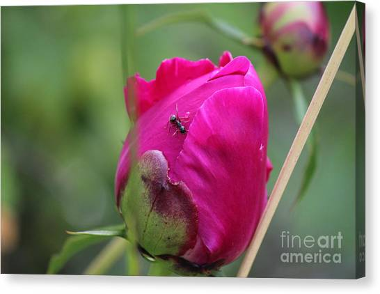 Canvas Print featuring the photograph Ant On Peony by Ann E Robson